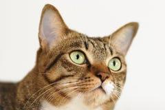Gato de Tabby Fotografia de Stock Royalty Free