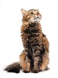 Gato de Tabby Fotografia de Stock