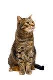 Gato de tabby adulto en blanco Fotografía de archivo