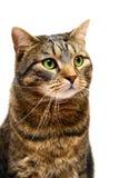 Gato de tabby adulto en blanco Fotos de archivo libres de regalías