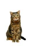 Gato de tabby adulto en blanco Imágenes de archivo libres de regalías