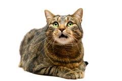 Gato de tabby adulto en blanco Imagenes de archivo