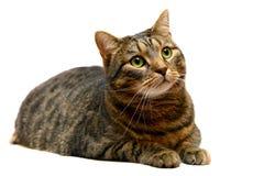Gato de tabby adulto en blanco Foto de archivo