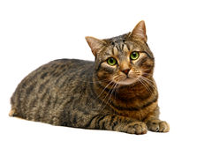 Gato de tabby adulto en blanco Imagen de archivo libre de regalías