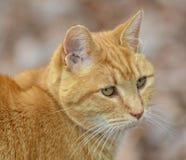 Gato de tabby alaranjado bonito Fotos de Stock Royalty Free