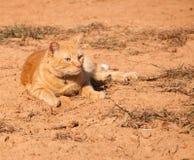 Gato de tabby anaranjado hermoso en sol Foto de archivo