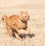 Gato de tabby anaranjado que funciona con velocidad completa Foto de archivo libre de regalías