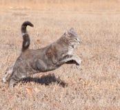 Gato de tabby azul hermoso que salta mientras que se ejecuta Fotografía de archivo libre de regalías