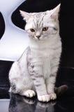 Gato de Tabby contra el fondo blanco y negro Imágenes de archivo libres de regalías