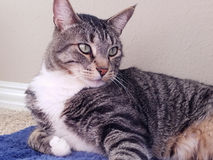 Gato de tabby de relajación Fotos de archivo libres de regalías