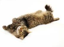 Gato de tabby de relaxamento Imagem de Stock Royalty Free