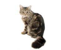 Gato de Tabby e infección de ojo Foto de archivo libre de regalías