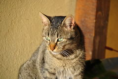 Gato de tabby enojado Fotos de archivo