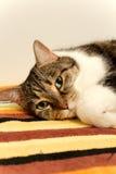 Gato de tabby eyed verde foto de stock
