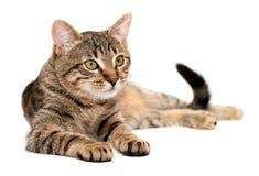 Gato de Tabby que miente en blanco fotografía de archivo libre de regalías