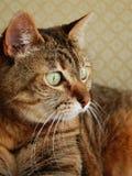 Gato de Tabby que mira futuro Imagenes de archivo
