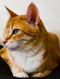 Gato de Tabby que mira la cámara Foto de archivo