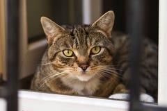 Gato de Tabby que mira la cámara Imagen de archivo libre de regalías