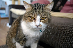 Gato de Tabby que mira la cámara Imagenes de archivo
