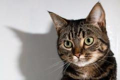 Gato de Tabby que mira la cámara Fotos de archivo