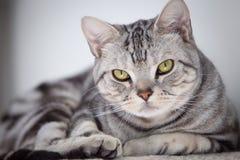 Gato de Tabby que mira la cámara Imágenes de archivo libres de regalías
