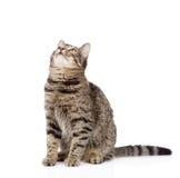Gato de Tabby que mira para arriba Aislado en el fondo blanco imagenes de archivo