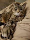 Gato de Tabby que olha a câmera Imagem de Stock Royalty Free
