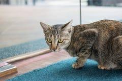Gato de Tabby que olha a câmera Imagens de Stock Royalty Free