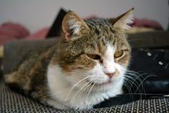 Gato de Tabby que olha a câmera Fotografia de Stock
