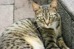 Gato de Tabby que pone por un paso de progresión Imagen de archivo