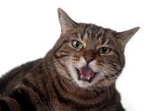 Gato de Tabby que silba imagen de archivo