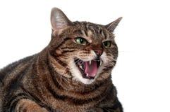 Gato de Tabby que silva Foto de Stock Royalty Free