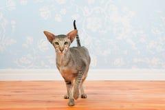 Gato de Tabby Siamese con el papel de empapelar del vintage Fotos de archivo libres de regalías