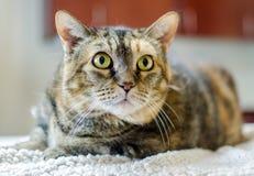 Gato de Tabico en contador Foto de archivo