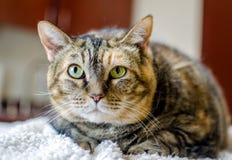 Gato de Tabico en contador Fotografía de archivo libre de regalías