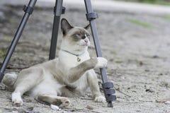 Gato de Tailândia que joga o tripé colocado na terra Imagens de Stock