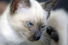 Gato de Tailandia Foto de archivo