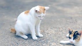 Gato de Tailandia de los gatos en el piso del cemento Gatos que se sientan en el piso del cemento, gato blanco uno en el piso del almacen de video