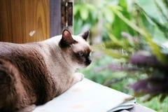 Gato de Tailandia que se sienta en la ventana Foto de archivo libre de regalías