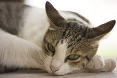 Gato de Tha Imagenes de archivo