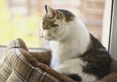 Gato de tom do Siberian que relaxa no fim catbed acima da foto imagem de stock royalty free