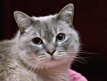 Gato de Tonkenese Imagem de Stock