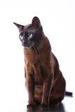 Gato de Tonkinese Fotografia de Stock