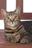 Gato de Toyger no banco Fotos de Stock Royalty Free
