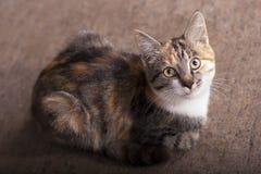 Gato de três cores Imagens de Stock Royalty Free