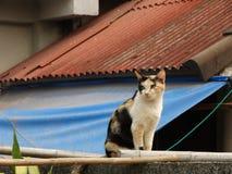 Gato de tres colores Fotos de archivo