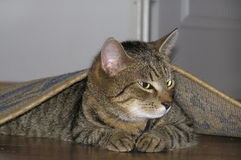 Gato debajo de la alfombra Fotografía de archivo