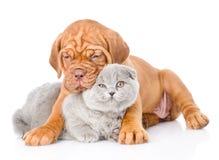 Gato del abarcamiento del perrito de Burdeos Aislado en el fondo blanco Imágenes de archivo libres de regalías