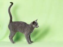 Gato del animal doméstico fotos de archivo