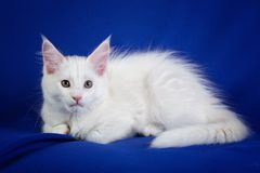 Gato del animal doméstico del gatito Fotos de archivo libres de regalías